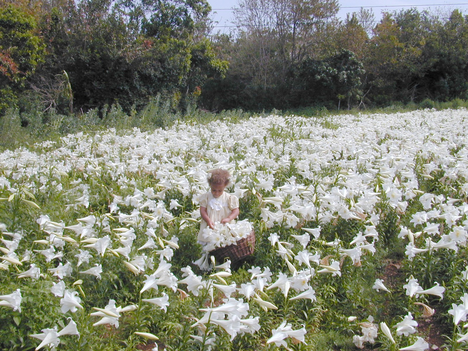 Picking Easter Lillies in Bermuda