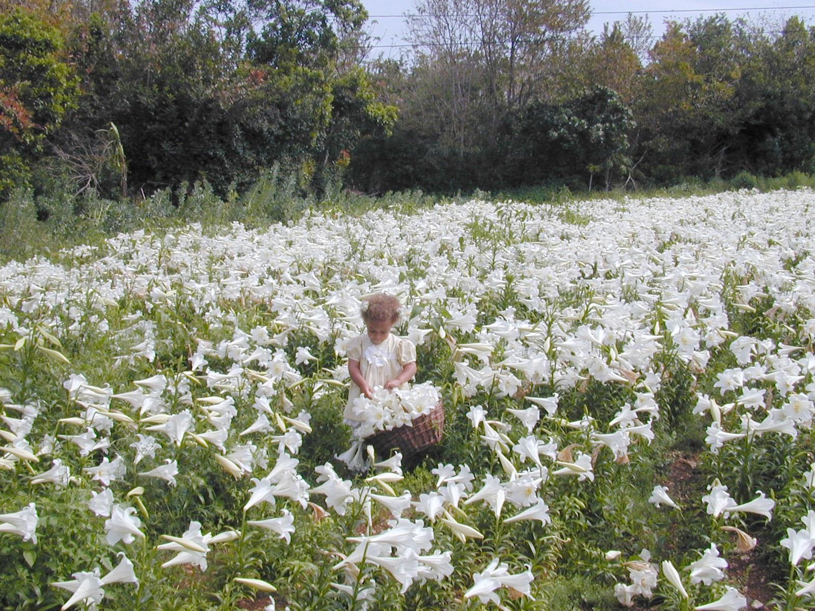 Picking Easter Lillies in Bermuda