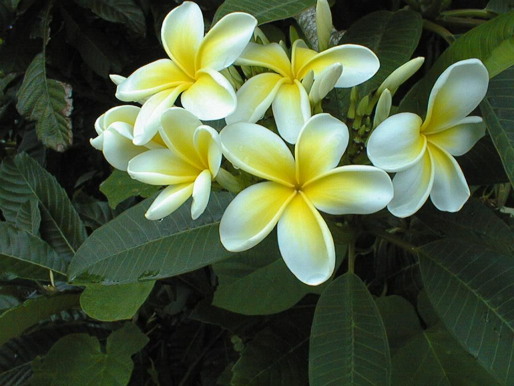 Frangipani - Bermuda's most fragrant blooms